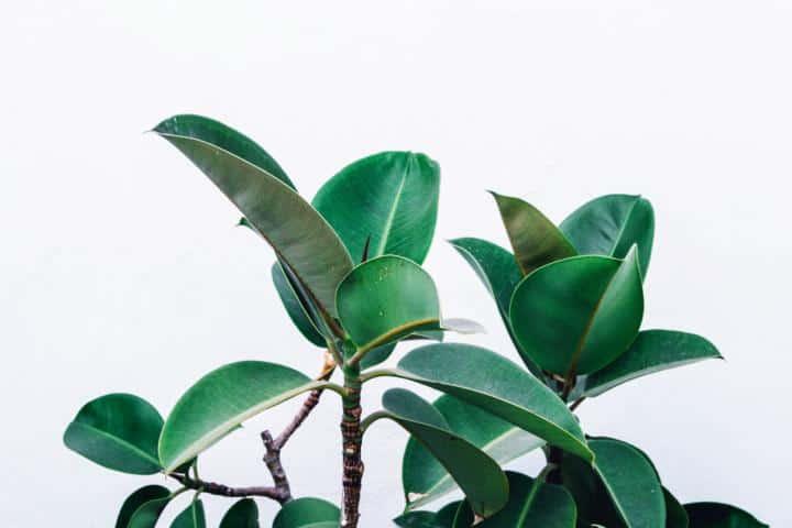 Große Zimmerpflanze