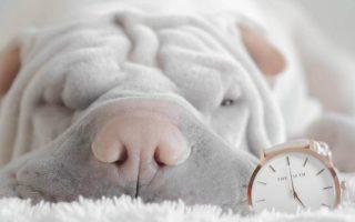Ein Hund am Schlafen und eine Armbanduhr