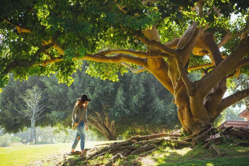 Ein großer Baum mit Wurzeln und eine Dame