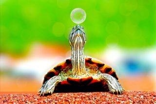 Eine Schildkröte am Spielen
